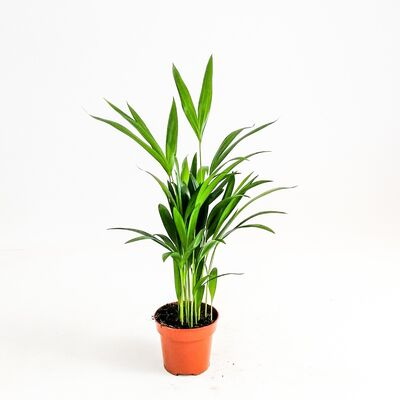 Areka Palmiyesi-Areca Dypsis Lutescens-İthal-50 cm