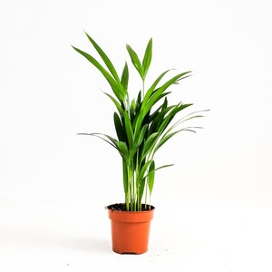 Fidan Burada - Areka Palmiyesi-Areca Dypsis Lutescens-İthal-30-40 cm