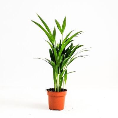 Areka Palmiyesi-Areca Dypsis Lutescens-İthal-30-40 cm