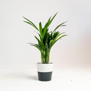 Fidan Burada - Areka Palmiyesi-Areca Dypsis Lutescens- Seramik Saksılı - İthal-50 cm