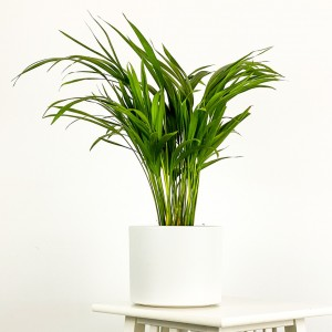 Fidan Burada - Areka Palmiyesi Beyaz Seramik Saksılı 50-60cm