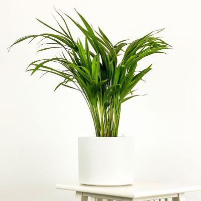 Areka Palmiyesi Beyaz Seramik Saksılı 50-60cm