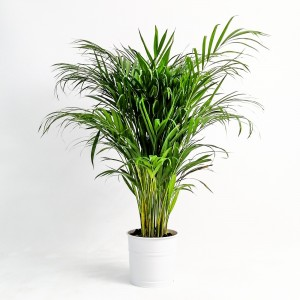 Fidan Burada - Areka Palmiyesi Beyaz Dekoratif Saksılı 120-140 Cm Dypsis Lutescens