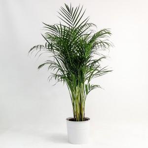 Fidan Burada - Areka Palmiyesi Beyaz Dekoratif Saksılı Dypsis Lutescens 140-160cm