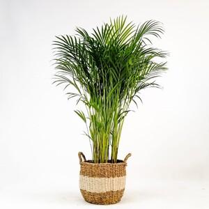 Fidan Burada - Areka Palmiyesi- Beyaz Hasır Saksılı - Areca Dypsis Lutescens- 120-140cm