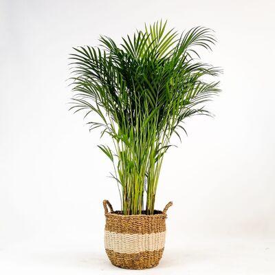 Areka Palmiyesi- Beyaz Hasır Saksılı - Areca Dypsis Lutescens- 120-140cm