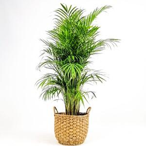 Fidan Burada - Areka Palmiyesi- Desenli Hasır Saksılı (L)- Areca Dypsis Lutescens- 140-160cm