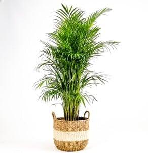Fidan Burada - Areka Palmiyesi- Beyaz Hasır Saksılı (L)- Areca Dypsis Lutescens- 140-160cm