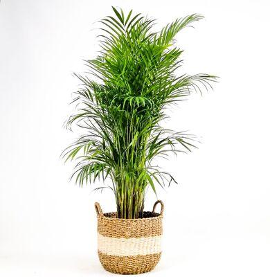 Areka Palmiyesi- Beyaz Hasır Saksılı (L)- Areca Dypsis Lutescens- 140-160cm