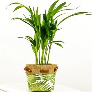 Fidan Burada - Areka Palmiyesi Plant Basket Saksılı (Medium) 40-50 cm_