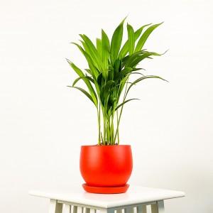 Fidan Burada - Areka Palmiyesi Curvy Saksılı 40-50 cm