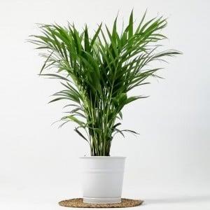 Areka Palmiyesi - Dekoratif Saksılı Areca - Dypsis Lutescens 100cm - Thumbnail