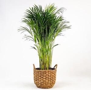 Fidan Burada - Areka Palmiyesi- Desenli Hasır Saksılı - Areca Dypsis Lutescens- 120-140cm