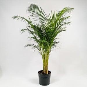 Fidan Burada - Areka Palmiyesi - Dypsis Lutescens 200cm