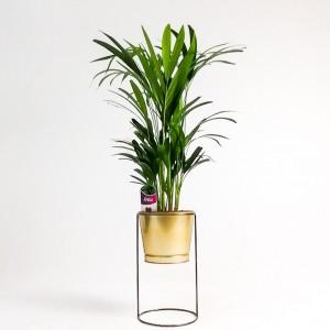 Fidan Burada - Areka Palmiyesi - Gold Ayaklı Saksıda - Dypsis Lutescens 100cm