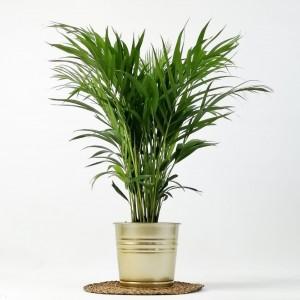 Fidan Burada - Areka Palmiyesi Gold Dekoratif Saksılı Dypsis Lutescens 100cm