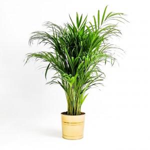 Fidan Burada - Areka Palmiyesi Gold Dekoratif Saksılı Dypsis Lutescens 140-160cm
