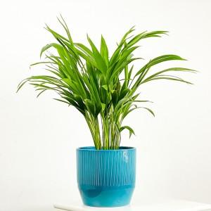 Fidan Burada - Areka Palmiyesi Mavi Çizgili Seramik Saksılı 50-60cm