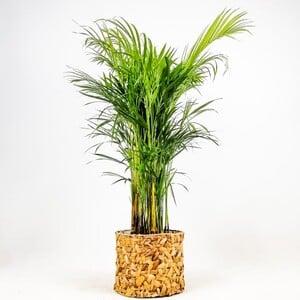 Fidan Burada - Areka Palmiyesi- Rolyn Hasır Saksılı - Areca Dypsis Lutescens- 120-140cm