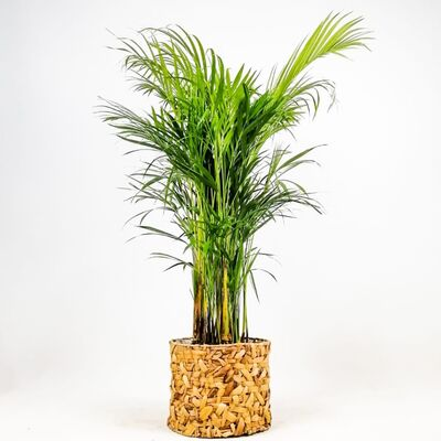 Areka Palmiyesi- Rolyn Hasır Saksılı - Areca Dypsis Lutescens- 120-140cm