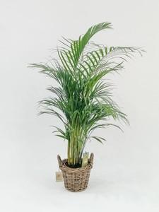Fidan Burada - Areka Palmiyesi-Areca Dypsis Lutescens-Hasır Sepette-Özel Ürün