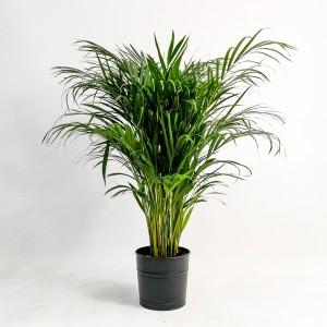 Fidan Burada - Areka Palmiyesi Siyah Dekoratif Saksılı 120-140 Cm Dypsis Lutescens