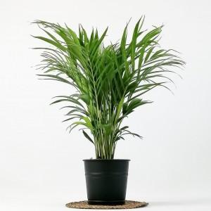 Fidan Burada - Areka Palmiyesi Siyah Dekoratif Saksılı Dypsis Lutescens 100cm