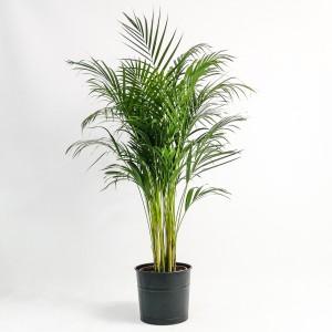 Fidan Burada - Areka Palmiyesi Siyah Dekoratif Saksılı Dypsis Lutescens 140-160cm