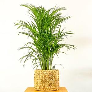 Fidan Burada - Areka Palmiyesi Straw Hasır Saksılı 120-140cm