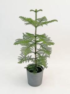 Fidan Burada - SALON ÇAMI-AROKARYA (Araucaria Heterophylla)-İthal 60-80 cm