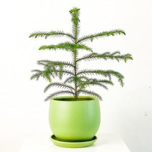 Arokarya Curvy Saksılı Mint Yeşili Salon Çamı 30cm Araucaria Heterophylla - Thumbnail