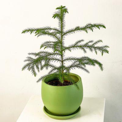 Arokarya Curvy Saksılı Mint Yeşili Salon Çamı 30cm Araucaria Heterophylla