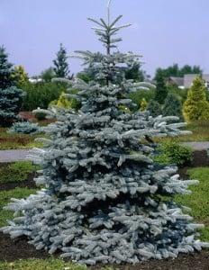 Fidan Burada - AŞILI MAVİ LADİN (Picea Pungens Hoopsii)30-40 Cm