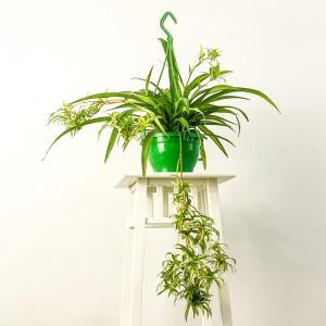 Fidan Burada - Askılı Kurdele Çiçeği - Chlorophytum Comosum Hawaii