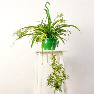 Askılı Kurdele Çiçeği - Chlorophytum Comosum Hawaii - Thumbnail