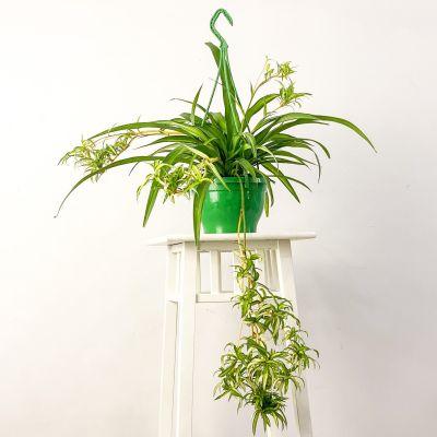 Askılı Kurdele Çiçeği - Chlorophytum Comosum Hawaii