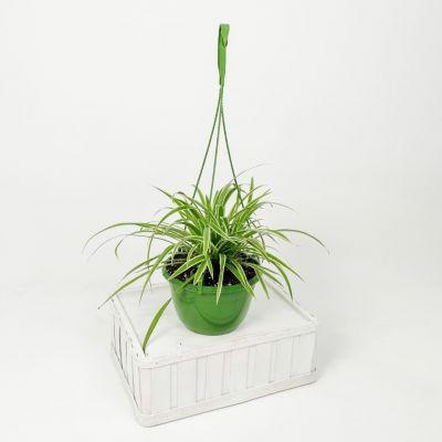 Askılı Kurdele Çiçeği - Chlorophytum Comosum