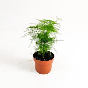 Asparagus Setaceus - Tül Kuşkonmaz 30 cm - Thumbnail
