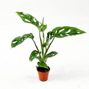 Fidan Burada - Baby Deve Tabanı Adansonii-Monkey Leaf Mini-Delikli Deve Tabanı