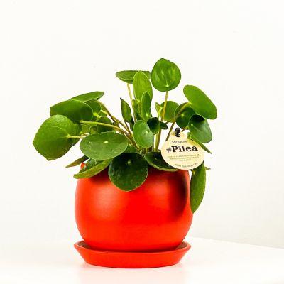 Baby Pilea Curvy Saksılı - Mini Çin Para Bitkisi