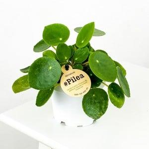 Fidan Burada - Baby Pilea Peperomioides - Mini Çin Para Bitkisi-İthal