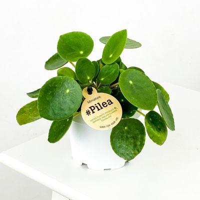Baby Pilea Peperomioides - Mini Çin Para Bitkisi-İthal