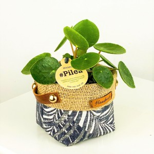 Fidan Burada - Baby Pilea Peperomioides - Plant Basket