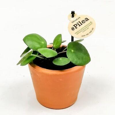 Baby Pilea Terra Cota Saksıda - Mini Çin Para Bitkisi-İthal