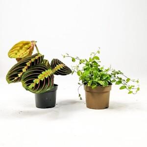 Fidan Burada - Baby Plant Mix 1- Maranta Dua Çiçeği ve Ficus Pumila