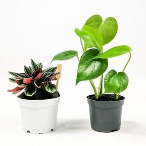 Fidan Burada - Baby Plant Mix 2- Deve Tabanı ve Peperomia Rosso