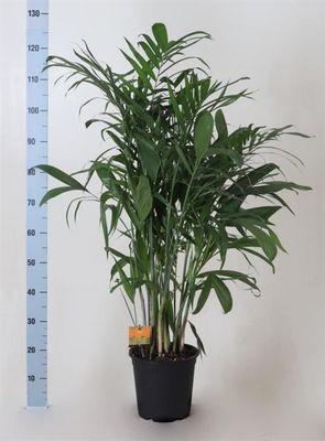 Bambu Palmiyesi-Chamaedorea Seifrizii-İthal-100Cm