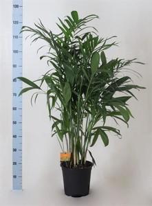 Fidan Burada - Bambu Palmiyesi-Chamaedorea Seifrizii-İthal-100Cm