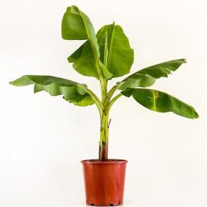 Fidan Burada - Banana Dwarf Cavendish Bodur Muz Ağacı