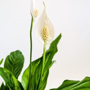 Barış Çiçeği - Spathiphyllum 50-70 - Thumbnail